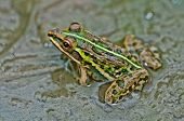 Frog Bullfrog Puddle Algae Close Up Copy Space