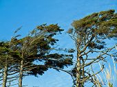 picture of windswept  - Windswept Trees on a Clear Sunny Day - JPG