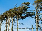 stock photo of windswept  - Windswept Trees on a Clear Sunny Day - JPG