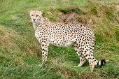 Cheetah Standing Against Grassy Bank
