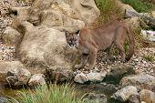 Puma em pé olhando sobre rochas