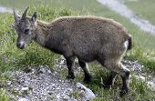 Wild Goat, Swiss Alps