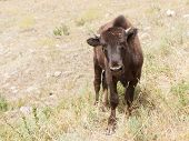 Curious Young Bison