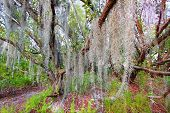 stock photo of tillandsia  - Spanish moss sways in the breeze along the Coastal Prairie Trail of Everglades National Park Florida - JPG