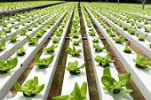 stock photo of hydroponics  - Hydroponic vegetables growing in greenhouse at Cameron Highlands - JPG