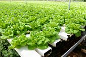stock photo of greenhouse  - Hydroponic vegetables growing in greenhouse at Cameron Highlands - JPG