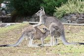 Great Grey Kangaroo, Astralia