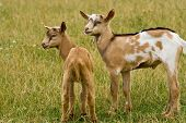 stock photo of feedlot  - young goats standing on a green meadow - JPG