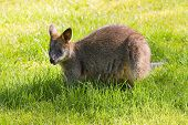 Swamp- Or Black Wallaby