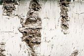Birch Bark -  Fine Nature Background
