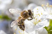 Honey Bee Collecting Blossom.