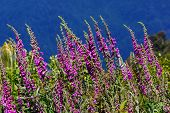 Purple Foxgloves In The Wild