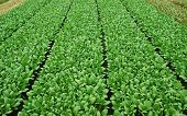 Green Vegetable Field