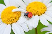 ladybug on a camomile flower