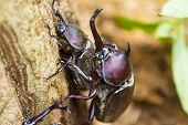 Beetle courtship