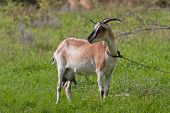 goat on green pasture in summer time