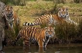 Cachorros de tigre siberiano