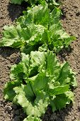 stock photo of iceberg lettuce  - Lettuce iceberg bright green plants in the garden - JPG