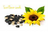 Fondo con girasoles amarillos y semillas de girasol. Ilustración del vector.