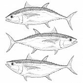 image of bigeye  - Hand drawn illustration of a Bigeye Tuna - JPG