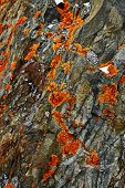 picture of chukotka  - Lichen on the rocks of the coast of Chukotka - JPG