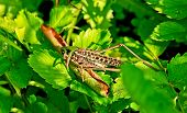Locusts Eat  Green Leaves Of Plants.