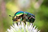 chafer beetle on flower macro - Cetonia aurata
