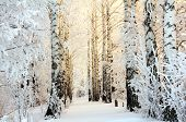 foto of birching  - winter frozen birch woods in morning light - JPG