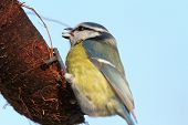 Blue Tit Eating Lard