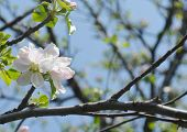 Flowering start of the apple tree