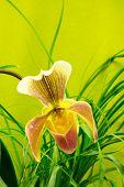 Marsupial Beautiful Orchid