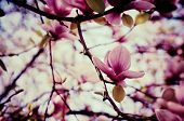 foto of descriptive  - Blossoming of magnolia flowers in spring time - JPG