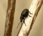 foto of armadillo  - A closeup shot of an Armadillo Weevil Climbing down a vine - JPG