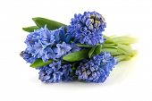 Bouquet blue hyacinths isolated over white background