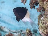 Chocolatedip Chromis