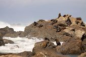 Fur Seal Rookery