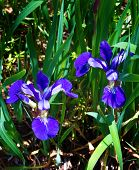 Northern Blue Flag Iris - Iris versicolor
