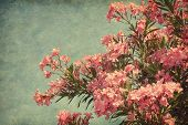 Pink flowers of oleander in retro style . Added paper texture.