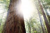 image of redwood forest  - Sunlight in redwood trees forest - JPG