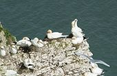 image of gannet  - Flock of nesting wild Northern Gannets morus bassanus on cliff headland of english coastline - JPG
