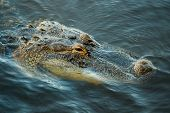 stock photo of alligators  - Close up of American Alligator - JPG