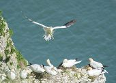 picture of gannet  - Flock of nesting wild Northern Gannets morus bassanus and bird in flight on cliff headland of english coastline - JPG