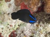Blue Stripped Dottyback