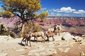 Bighorns in Grand Canyon