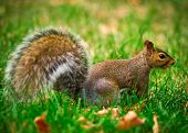 Eastern Gray Squirrel Profile