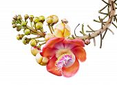 picture of cannonball-flower  - Closeup of Cannonball tree or Couroupita guianensis isolated on white background - JPG