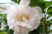 white flower,Camellia tea flower