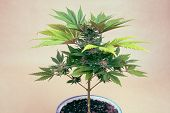 Cannabis Plant In Pot