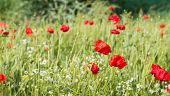 Field Edge With Blossoming Poppies And Camomile