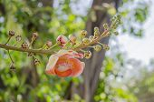 image of cannonball-flower  - Canonball flower or Couroupita guianensis flower blooming on tree tree of buddha